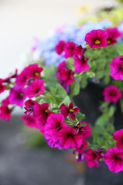 Trailing Petunias in Bloom